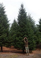 Grote maat kerstboom